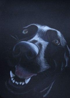 Sketch of Abby, Labrador Cross- Coloured pencil on black card, 2011