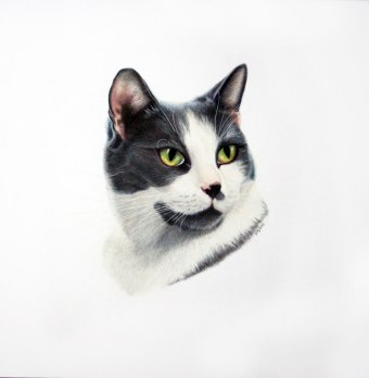"Burt, Domestic Shorthair- coloured pencil on Fabriano 5 (12x12""), 2013"