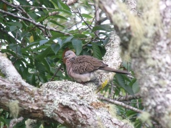 Malay Spotted Dove in pohutukawa treaa