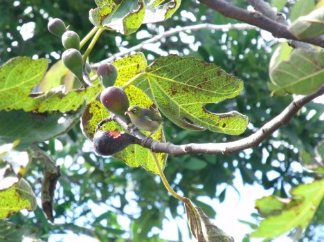 Silvereye eating figs