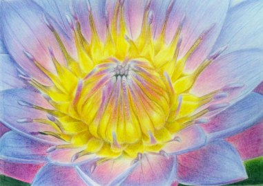 Purple Lily, coloured pencil, 2011
