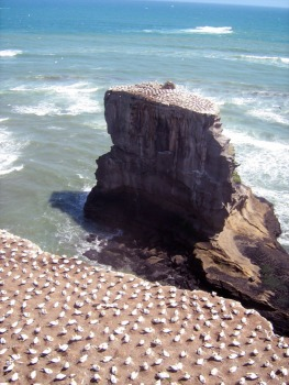 Gannet Colony at Muriwai