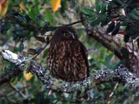 Morepork outside my window