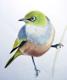 Sketch of a silvereye, coloured pencil on paper, 2012
