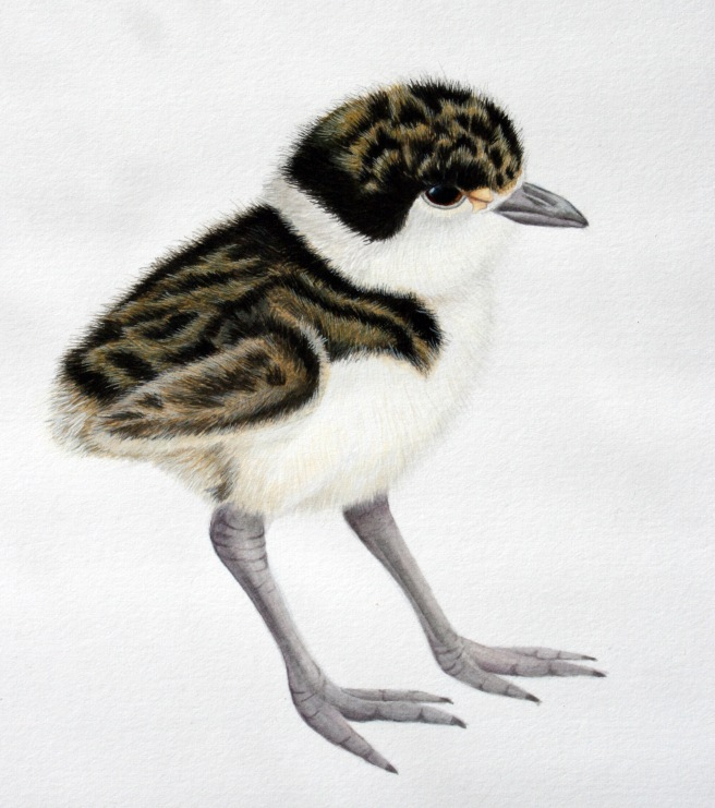 spur winged plover chick_acrylic