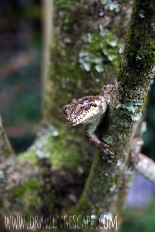 gecko_0032