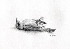 Dead silvereye, pencil, 2014