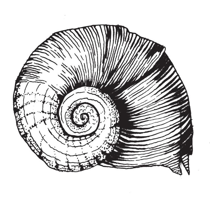 kauri-snail-shell