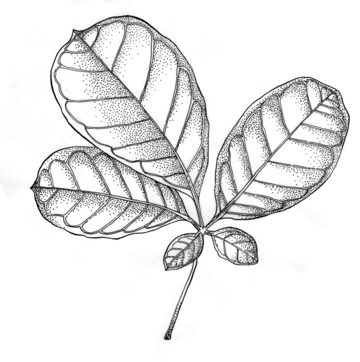 puririleaf-actual-size