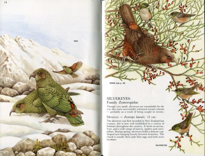 Elaine Powers illustrations in 'Bush and High Country Birds of New Zealand'