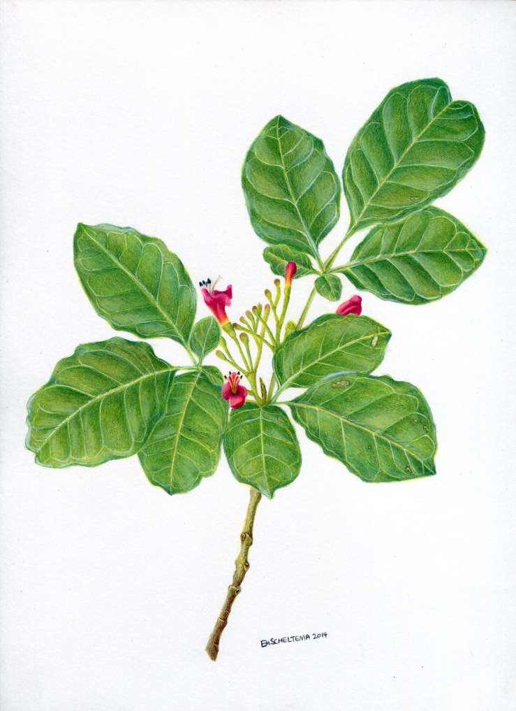 puriri branch, coloured pencil, 2014