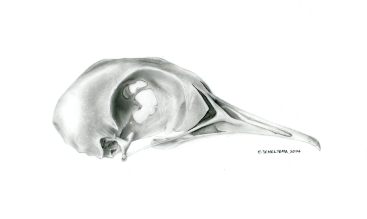 wood pigeon skull, carbon dust, 2014