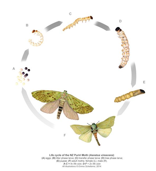 Life cycle of the Puriri Moth.
