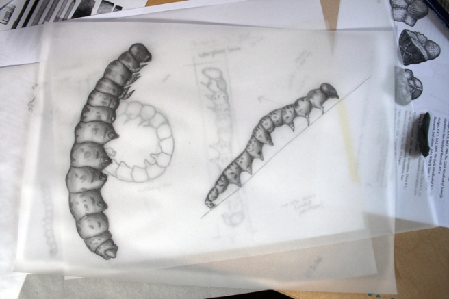 caterpillar-sketches