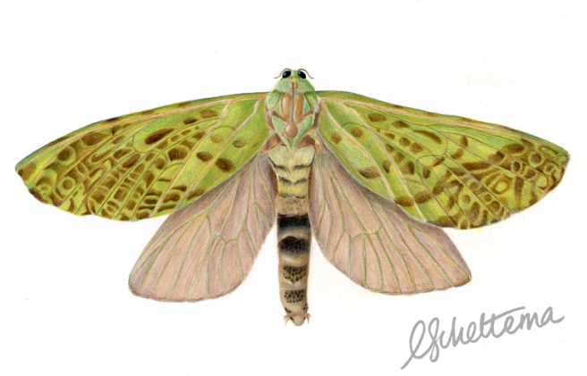 Adult female Puriri Moth