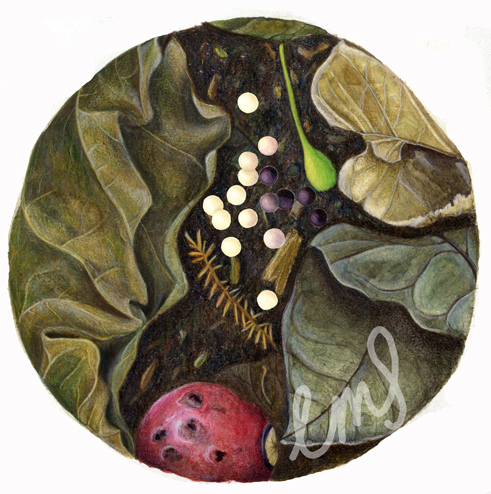 leaf litter with puriri moth eggs, watercolour and coloured pencil, 2014