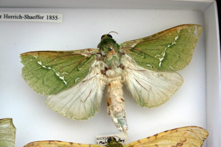 male-moth-museum-specimen