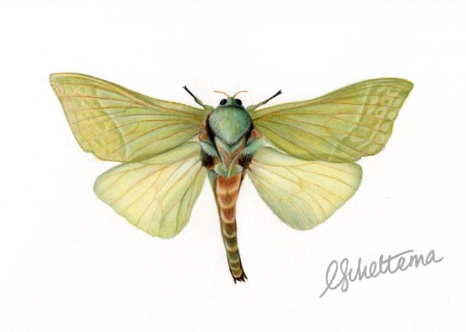 Adult male Puriri Moth