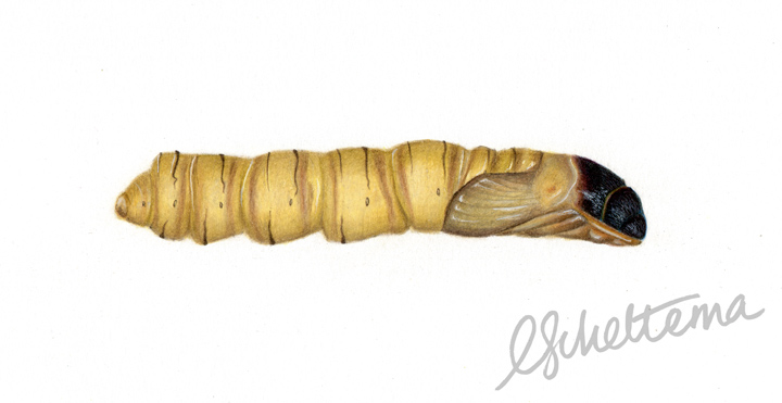 Puriri Moth Pupae (like a chrysalis)