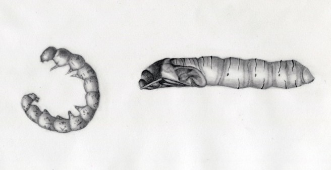 pupae-litter-test-size018