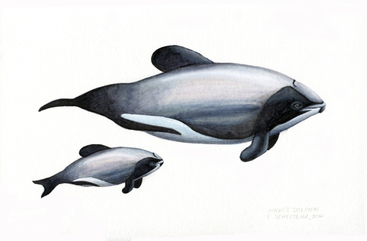 Maui's dolphin and her calf, watercolour, 2014