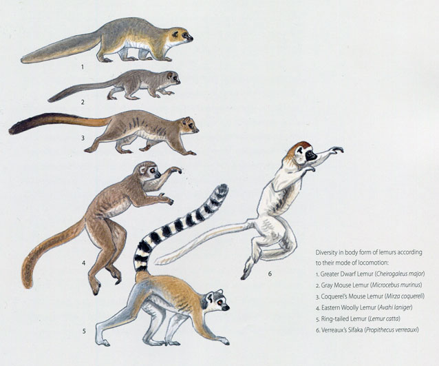Primates of the World by Jean-Jacques Petter and Francois Desbordes, pg11