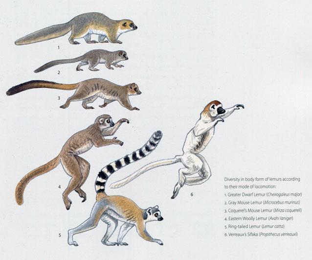 Primates locomotion