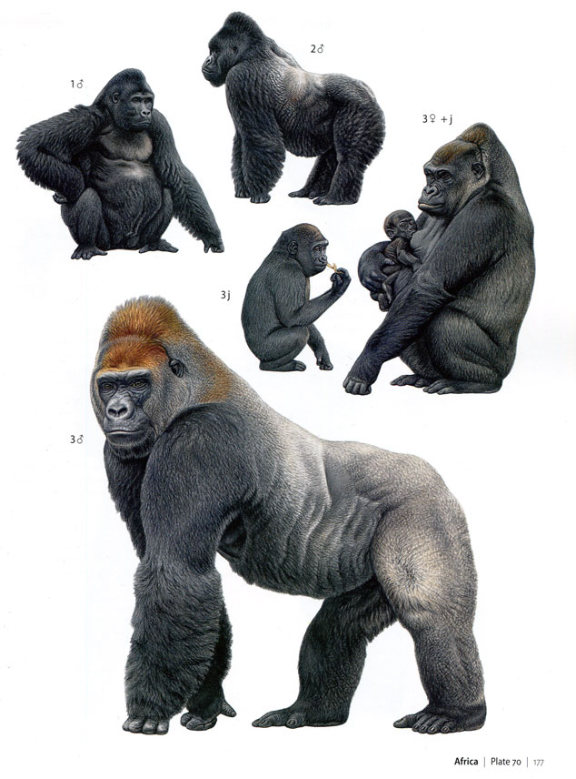 Primates of the World by Jean-Jacques Petter and Francois Desbordes, pg177