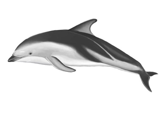 dusky-dolphin