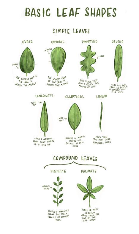 leaf-shapes-diagram_labels-incl-webproper