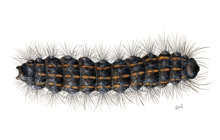 MagpieMoth_Caterpillar_Dorsal_600dpi_edited