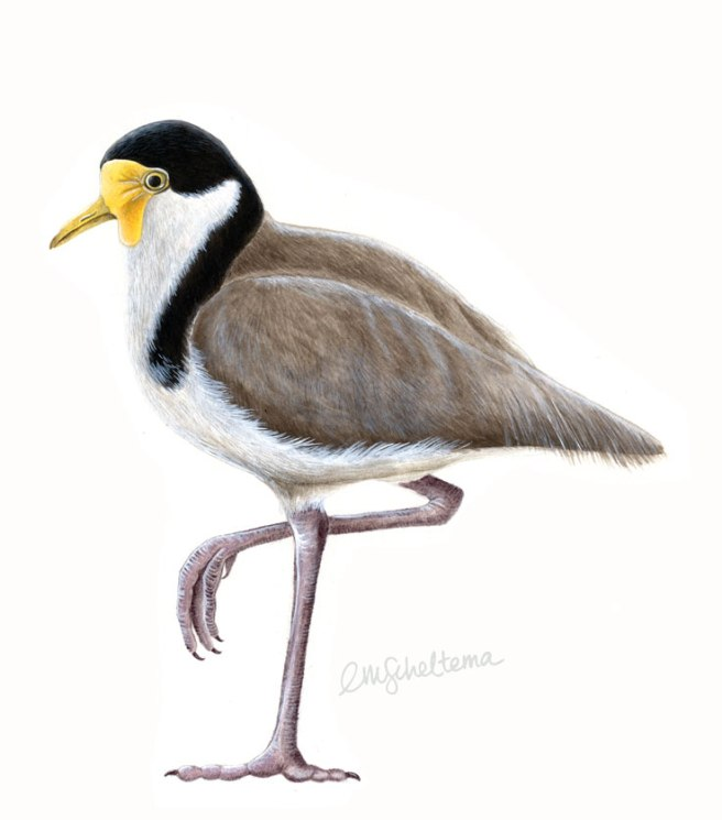 spur-winged-plover_acrylic-SIG