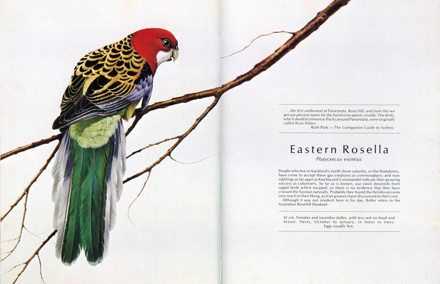 Rosella Bird Drawing Rosella