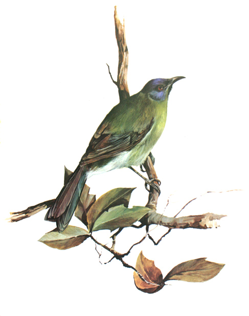 Bellbird from 'A Portfolio of New Zealand birds' by Norman Bruce Harvey, 1970