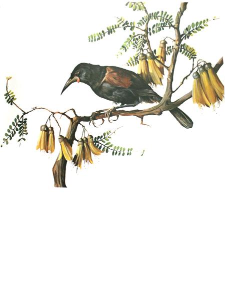 Saddleback from 'A Portfolio of New Zealand birds' by Norman Bruce Harvey, 1970
