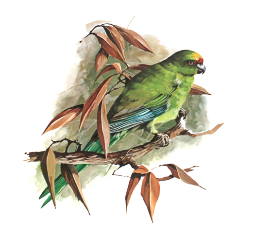 Yellow-crowned Parakeet from 'A Portfolio of New Zealand birds' by Norman Bruce Harvey, 1970