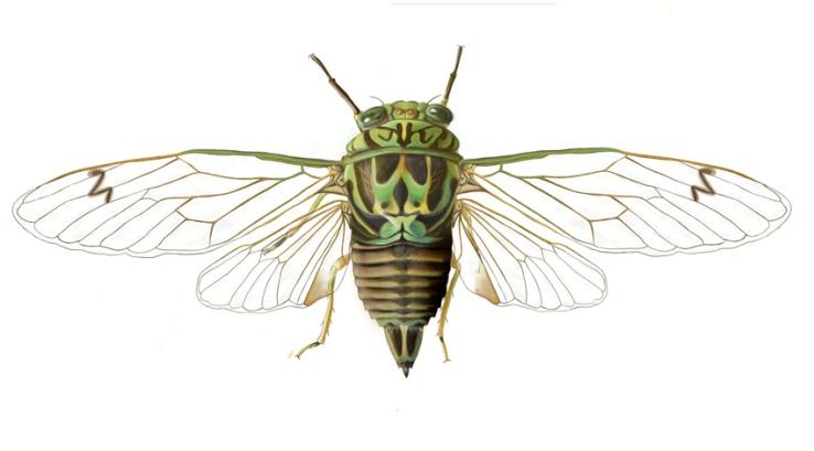 cicada-digi-white-bg