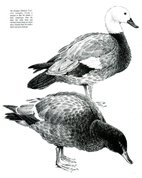 Paradise Shelducks. From 'Discovering the Bird of New Zealand' (1984) by Piers Hayman.