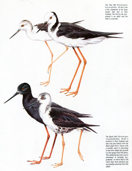 New Zealand Stilts. From 'Discovering the Bird of New Zealand' (1984) by Piers Hayman.