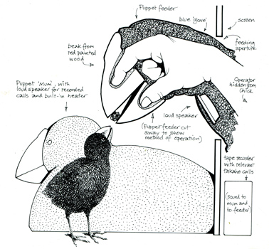 Takahe chick rearing method, which allows chicks to be raised without seeing humans- developed from an idea by Colin Roderick, by Wildlife Service officer Martin Bell. From 'Discovering the Bird of New Zealand' (1984) by Piers Hayman.