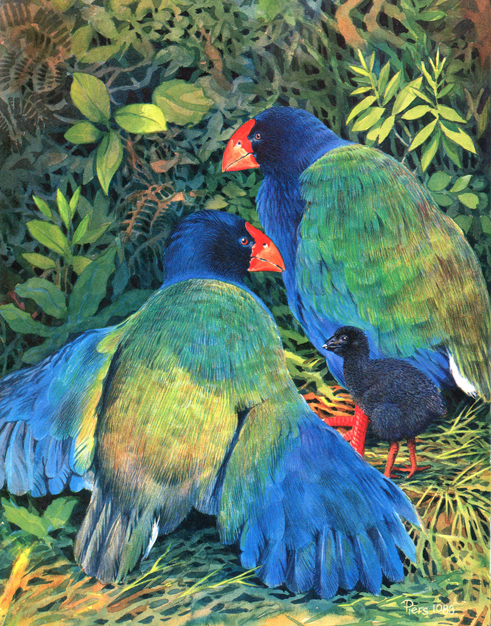 discovering-the-birds-of-nz-takahe