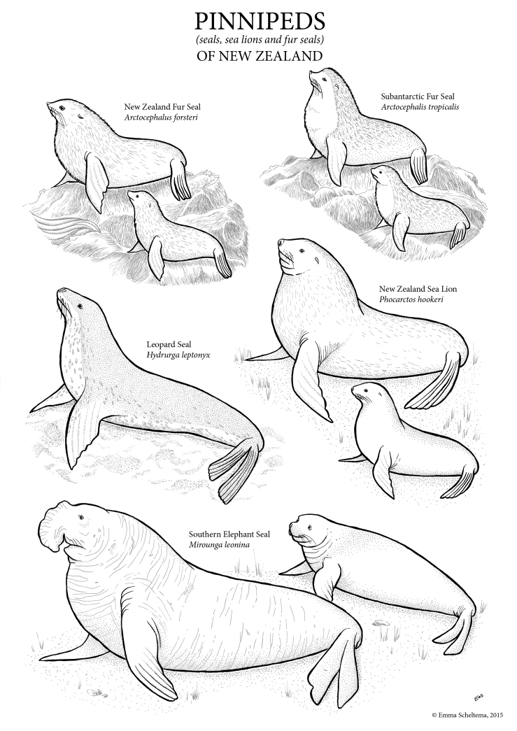 Seals Of New Zealand Free Colouring Sheet Emma Scheltema